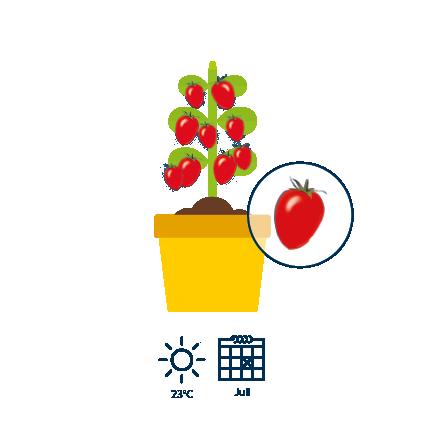 5 60 dagen na de verschijning van de bloesems zijn de tomaten rijp en rood van kleur.