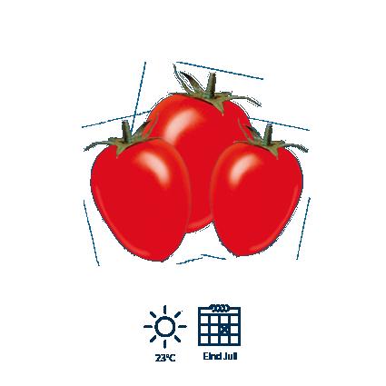 6 Eind juli zijn de tomaten volledig rijp en klaar om geoogst te worden.